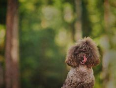 Poodle.  By Nani Annette.