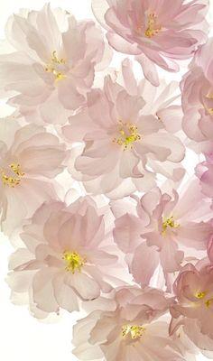 ❤ soft pink . old roses