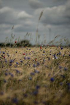 petitpoulailler:fotomog: Cornline closeup (muted colors)