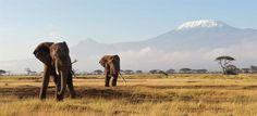 Elefanten-Sichtigung auf einer Safari in Tansania mit dem Kilimandscharo im Hintergrund!