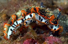 Dermatobranchus ornatus....I think this is a nudibranch