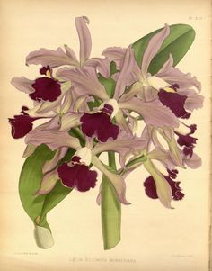 Laelia elegans morreniana. Orchid album :comprising coloured figures and descriptions of new, rare and beautiful orchidaceous plants 1888. London :B. S. Williams,1882-97.  Biodiversitylibrary. Biodivlibrary. BHL. Biodiversity Heritage Library