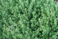 Thyme is a gardener's favorite herb. Not only is its fragrance divine, but thyme is hardy and stays evergreen throughout winter. The only consideration is to protect it from the elements with some mulch or pine straw. Easy stuff! Find out more from Bonnie Plants.