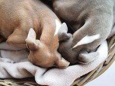 ~ Italian Greyhounds Snuggle ~