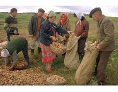 cultivos de papa | PAPA TRANSGÉNICA La misnistra de agricultura considera que este ...