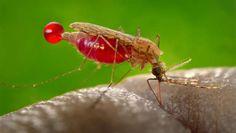 Vaksin Malaria Beri Kekebalan Hingga Empat Tahun