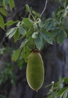 Adansonia digitata baobab fruit