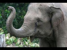 Elephant - My animal friends - Animals Documentary -Kids educational Videos Asian Elephant, Elephant Love, Wild Elephant, Elephant Trunk, Elephant Theme, Animals And Pets, Funny Animals, Cute Animals, Wild Animals