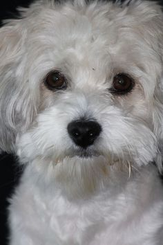 The Havanese small hypoallergenic dog is an excellent family pet. Check out more about this pooch that was bred as a companion for Cuban aristocracy! Havanese Grooming, Havanese Puppies, Cute Puppies, Cute Dogs, Dogs And Puppies, Havanese Haircuts, Chihuahua Dogs, Doggies, Baby Animals