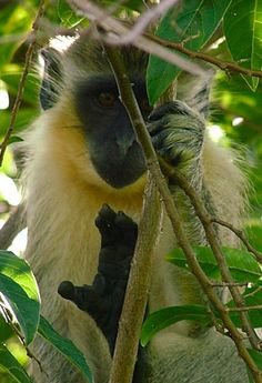 You're sure to spot these mischievous little monkeys all over Barbados! The Wildlife Reserve is a great spot to observe them up close.