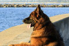 Shadow watching the planes arrive at Mascot-1376 - German Shepherd