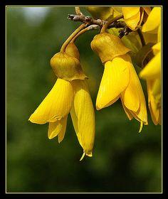Kowhai - New Zealand's National Flower New Zealand Houses, New Zealand Art, Flower Images, Flower Art, Art Flowers, Exotic Flowers, Beautiful Flowers, Yellow Flowers, Maori Designs
