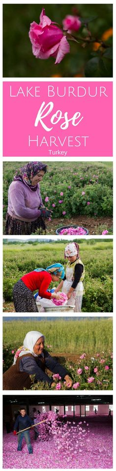 Every year the Turkish rose harvest takes over the area around Lake Burdur, and we got to help out! Click here to find out more!