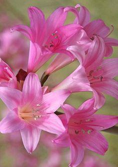 Beautiful pink Lilies.