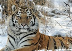Our beautiful Amur tiger, Grom, poses for a still shot in the midst of the winter snow.  Make sure you pay Grom a visit on your next Cheyenne Mountain Zoo visit!