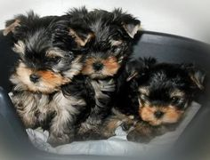 Yorkie babies Lose up to 40 lbs in 60-days with: www.TexasTrim.net