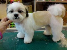 Choosing a grooming style for your Shih Tzu? Take a look at these cute Shih Tzu hair styles for your inspiration. Shih Tzus, Shih Tzu Hund, Chien Shih Tzu, Shih Tzu Puppy, Dog Grooming Styles, Pet Grooming, Tosa Lhasa Apso, Pekinese, Dog Haircuts