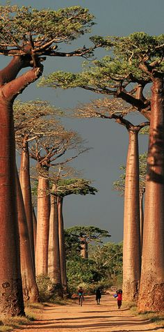 Baobab Alley in Morondava, Toliara, Madagascar • photo: peace-on-earth.org on Flickr #trees #travel #madagascar #africa