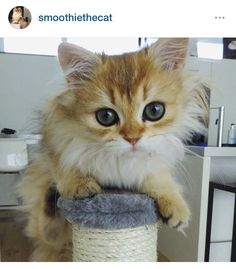 This is Smoothie. She might be the prettiest cat I've ever seen.