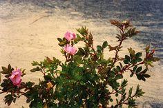 Rosa carolina, subiu Karoliinan-1826.