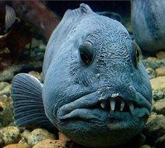 A photo gallery collection of strange and weird animals Deep Sea Creatures, Weird Creatures, Underwater Creatures, Underwater Life, Wolf Eel, Bizarre Animals, Saltwater Aquarium Fish, Saltwater Fishing, Weird Fish