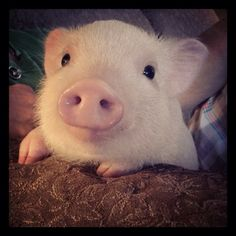 I am NOT a mini, micro, teacup, kunekune nor pot belly. The fact is, pigs that STAY small do NOT exist ! Cute Little Animals, Little Pigs, Cute Funny Animals, Cute Dogs, Cute Baby Pigs, Cute Piglets, Cute Animal Photos, Baby Animals Pictures, Mini Pigs