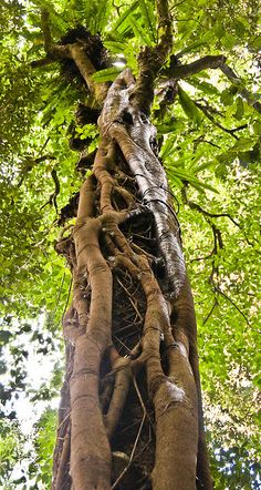 Rainforest, Queensland, Australia…Strangler Fig with host-tree Unique Trees, Old Trees, Nature Tree, Tree Forest, Tree Art, Tree Of Life, Amazing Nature, Mother Earth, Trees To Plant