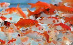 goldfish in the aquarium pet shop