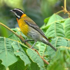 Puerto Rican Stripe-headed Tanager (male)