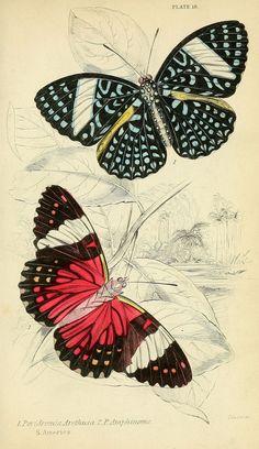 Foreign butterflies Edinburgh :Henry G. Bohn,1858. biodiversitylibrary.org/page/30564738