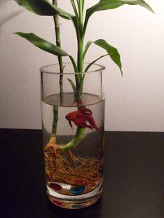 Items similar to Bamboo Betta Fish Bowl Habitat – Homegrown Mature Lucky Bamboo Plant, Colored Stones, Glass Vase Terrarium on Etsy – Fish Supplies Betta Fish Bowl, Betta Fish Tank, Beta Fish, Indoor Water Garden, Indoor Plants, Planted Aquarium, Aquarium Fish, Lucky Bamboo Plants, Plantas Indoor