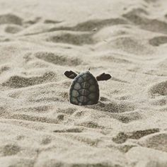Cute baby turtles, cute baby animals, animals sea, animals and pets, funny Cute Creatures, Beautiful Creatures, Animals Beautiful, Baby Sea Turtles, Cute Turtles, Cute Baby Animals, Animals And Pets, Funny Animals, Animals Sea