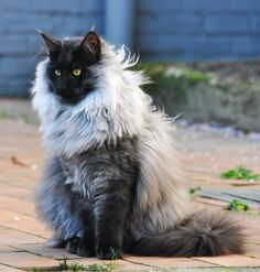 Beautiful furry cat