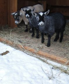 """""""Oh come on you guys....it doesn't look that bad!!""""  Harmony Homestead, Montana"""
