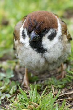雨だからってお休みにならないトコが辛いのよねー。 #スズメ #Sparrows #鳥 #Birds #東京 #写真好きな人と繋がりたい #雨の日