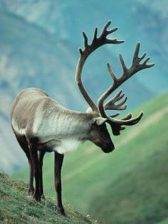 Caribou cows and bulls both grow distinctive antlers and bull antlers can reach 4 feet in width! A Caribou calf can run within 90 minutes of its birth. It must do this to keep up with the migrating herds.