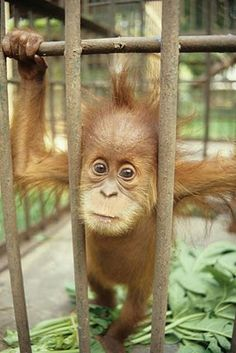 Young orangutans are captured during logging operations or forest clearance to serve as pets. Rehabilitated orangutans require a quarantine period as a health check-up before joining the group.