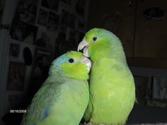 ChiChi, and Chochoo, my little parrotlets. world's smallest parrots in the short tail family