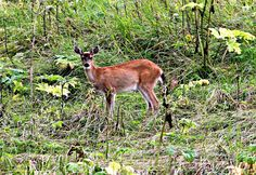 Sandra's Alaska Photographs: August 5, 2012 - A 'doe' deer we came upon during our drive to town in Juneau, Alaska...