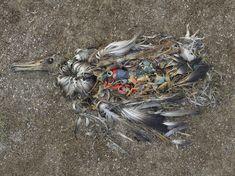 Dode albatros die al zo vergaan is dat je het plastic in zijn maag waaraan de vogel is overleden zitten.