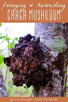 Foraging and Harvesting Chaga Sustainably + Chaga Benefits Learn all about chaga fungus! What is chaga, how to forage and harvesting chaga sustainably, chaga benefits, and how to make chaga tea.