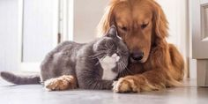 cat and golden retriever pets in loveYes—animals can and do fall in love. Here are the photos of animals in love that will prove this fact—while simultaneously tugging on your heartstrings. Smoothies Detox, Cat Jokes, Bearded Dragon, Pet Toys, Fur Babies, Dog Cat, Pet Pet, Kittens, Cute Animals