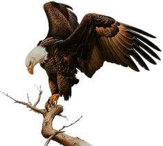 águia - Pesquisa Google