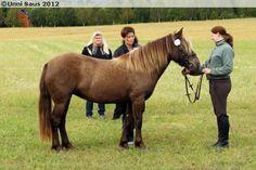 Nordland Horse / Lyngen Horse - mare Solstad Milla