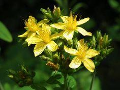 弟切草の花言葉は、「恨み」。名前も花言葉も物騒なのに、とてもきれいな花です。