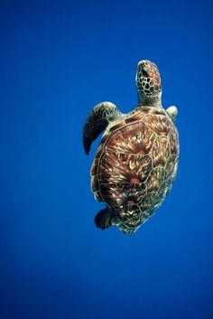 Green Sea Turtle - byJames Scott