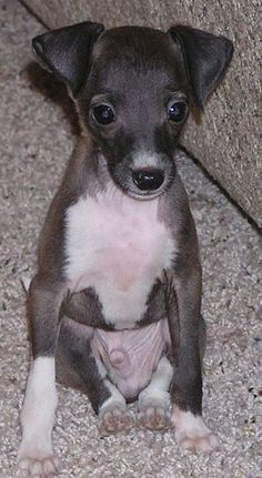 Italian greyhound puppy!!!! SO ADORABLE