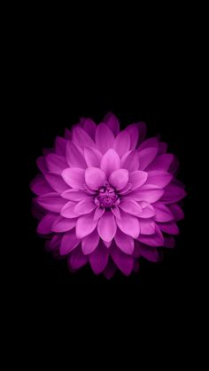 Apple iPhone 6 Plus Wallpaper - Purple Lotus Flower