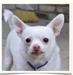 --Acho is an adoptable Chihuahua Dog in Spring Lake, NJ. Acho, it seems, is designed to be the perfect lap dog. Nothing he does pleases him more than to nuzzle into his person, an art he has perfected...
