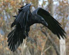 Afbeeldingsresultaat voor raven wings
